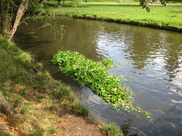 Hedge floating down the Wandle: the inspiration for 'Ophelia' by Millais.