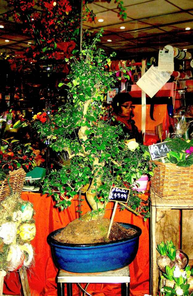 The Famous Bonsai-Tree of Willy Green outside Zerendipity'Izz'Uzz. Totally unique. Please remember that bonsai-trees are not just for Christmas. £49.99 for one, £89.99 for two. (®Marks & Spencer, Christmas 2013 Catalogue. Reproduced with persimmons.)